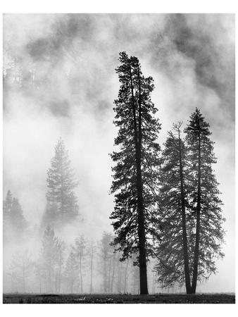 Yosemite Misty Pines Black And White Posters By Danny Burk At