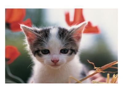 Poppy Kitten