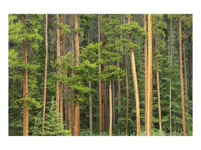Lodgepole Pines