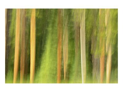 Lodgepole Pine Abstraction
