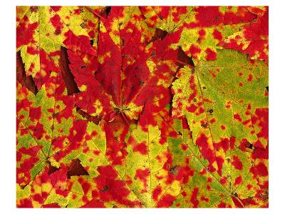 Red Autumn Maple Leafs