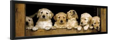 Golden Retriever Puppies Club