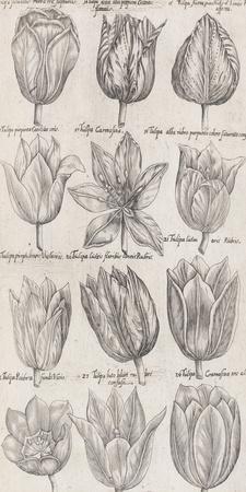Tulip Cultivars
