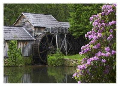Rhododendron blossoming at Mabry Mill, Blue Ridge Parkway, Virginia