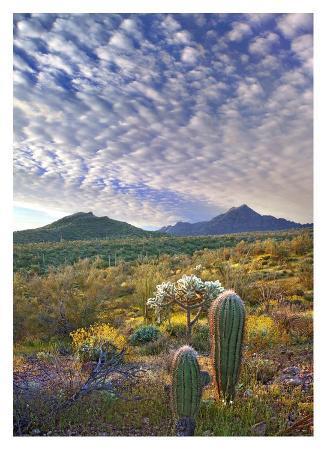 Saguaro and Teddybear Cholla amid flowering Lupine and California Brittlebush