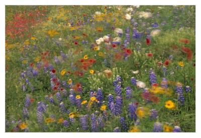 Wildflowers blowing in the wind, Hill Country, Texas