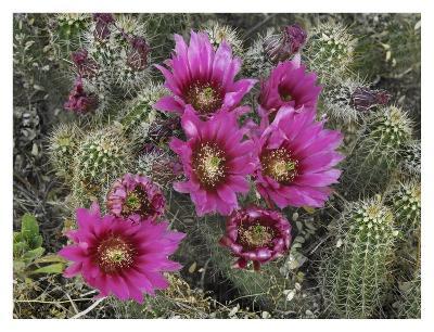 Hedgehog Cactus flowering, Arizona