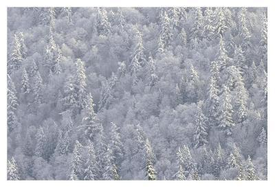 Winter forest, British Columbia