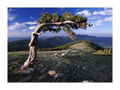 Bristlecone pine, Mt Evans, Colorado