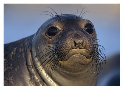 Northern Elephant Seal pup, North America