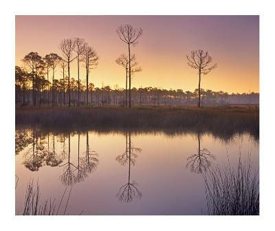 Pineland at Piney Point near Hagen's Cove, Florida