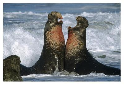 Northern Elephant Seal males fighting, California Coast