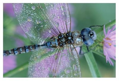 Southern Hawker Dragonfly close-up, on stem, New Mexico