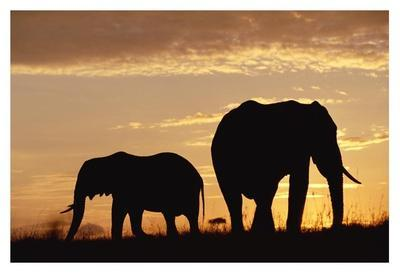 African Elephant mother and calf silhouetted at sunset, Kenya