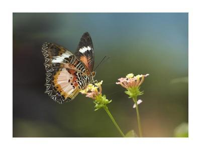 Nymphalid Butterfly feeding on flower nectar, native to Asia