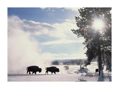 American Bison in winter, Yellowstone National Park, Wyoming