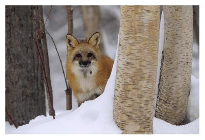 Red Fox looking out from behind trees in a snowy forest, Montana