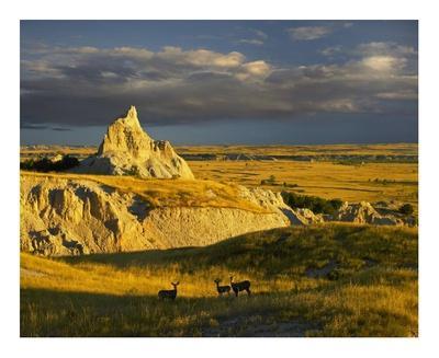 Mule Deer trio in the grasslands of Badlands National Park, South Dakota