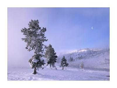 Snow-covered Pines with half moon in Yellowstone National Park, Wyoming