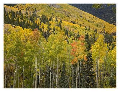 Aspen trees in autumn, Santa Fe National Forest near Santa Fe, New Mexico