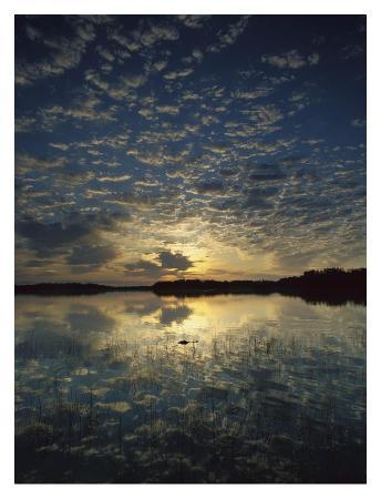 American Alligator in Nine-mile Pond, Everglades National Park, Florida
