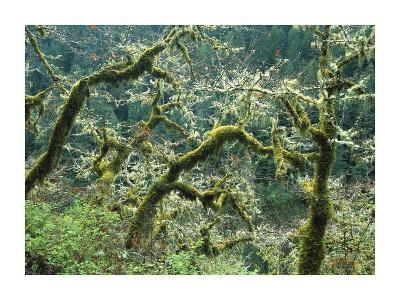 Mossy Oak trees at Eagle Creek, springtime, Columbia River Gorge, Oregon