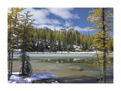Boreal forest in light snow, Opabin Plateau, Yoho National Park, British Columbia, Canada