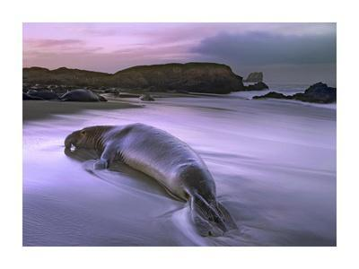 Northern Elephant Seal bull laying at surf's edge, Point Piedras Blancas, California