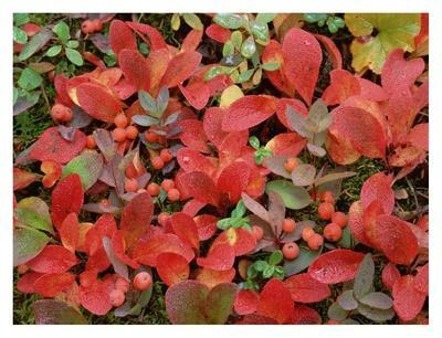 Bearberry on forest floor in autumn, Yukon Territory, Canada