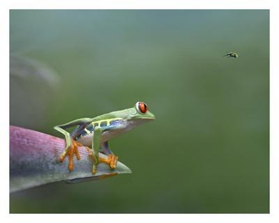 Red Eyed Tree Frog Eyeing Bee Fly Costa Rica Prints