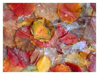 Cottonwood frozen leaves, North America