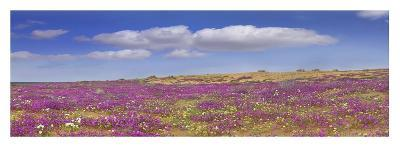 Sand Verbena carpeting the Imperial Sand Dunes, California