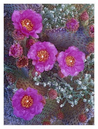 Beavertail Cactus flowering, North America
