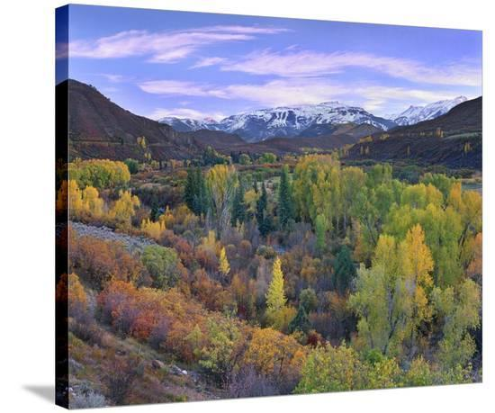 Quaking Aspen Forest In Autumn Snowmass Mountain Near Quaking Aspen Colorado Stretched Canvas Print Tim Fitzharris Allposters Com
