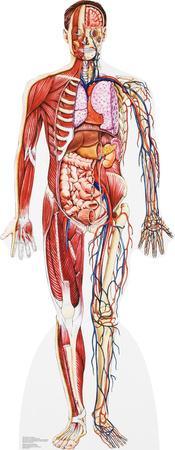 Anatomy Cross Section Lifesize Standup