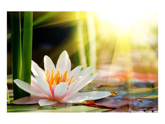 Lotus flower background posters at allposters lotus flower background mightylinksfo
