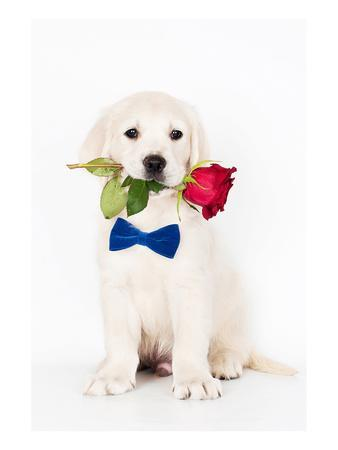 Golden Retriever Puppy & Rose