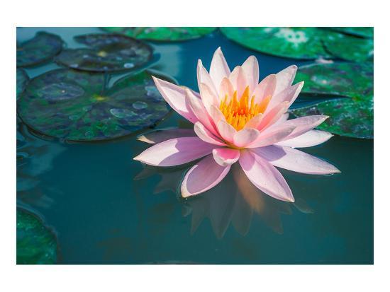 Pink Lotus Flower In Pond Print At Allposters