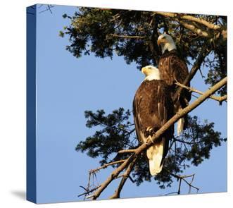 Perched Eagles