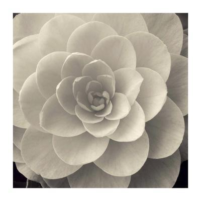 Camellia I