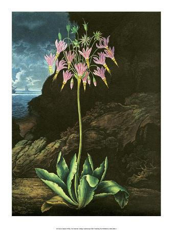 Botanical Print, The American Cowslip