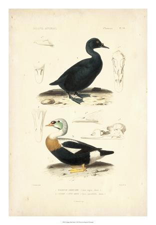 Antique Duck Study I
