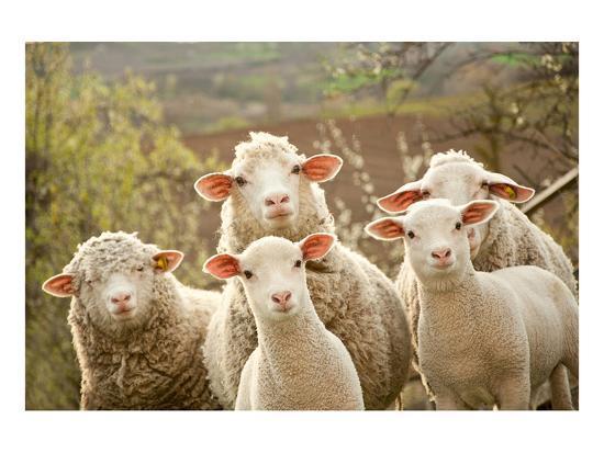 Candid image inside sheep printable