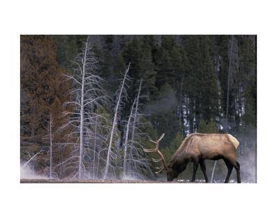 Bull Elk, Wyoming