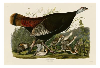 Wild Turkey II