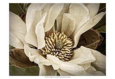 Classic Magnolia II
