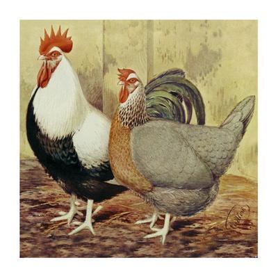 Chickens: Silver-Grey Dorkings