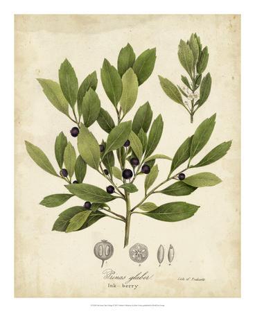 Ink-berry Tree Foliage