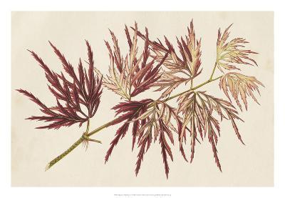 Japanese Maple Leaves V