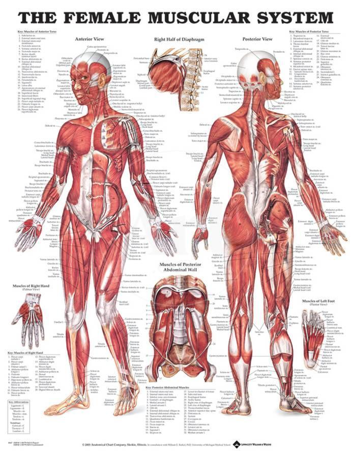 The Female Muscular System Anatomical Chart Poster Poster At